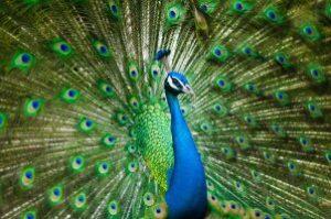 peacock_pixabay-allanlau2000