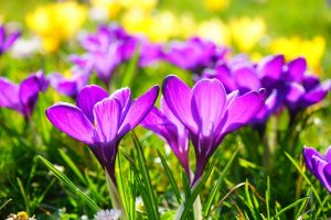 crocus_image from Hans on pixabay