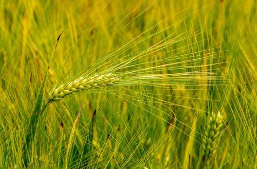 Getreidehalm-Bild von Jürgen Treiber auf pixabay