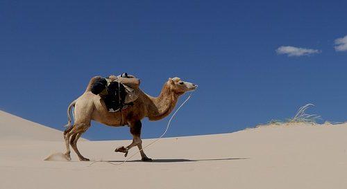 Kamel-Bild von hbieser auf pixabay